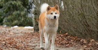 hachiko-dindog