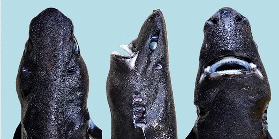 Descubren tiburon 'ninja'