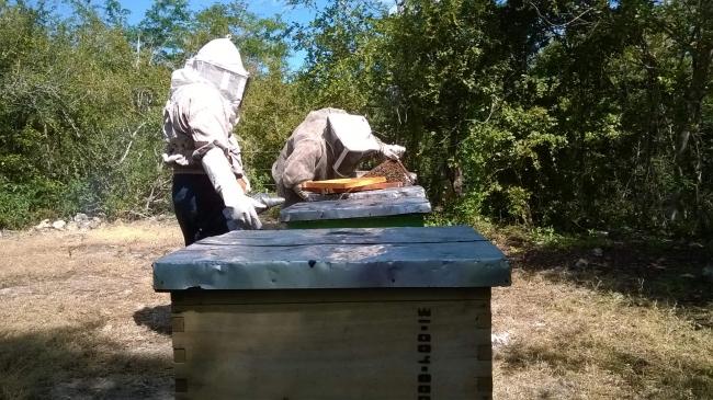 Apicultura mexicana saludable, abejas amenazadas por plaguicidas