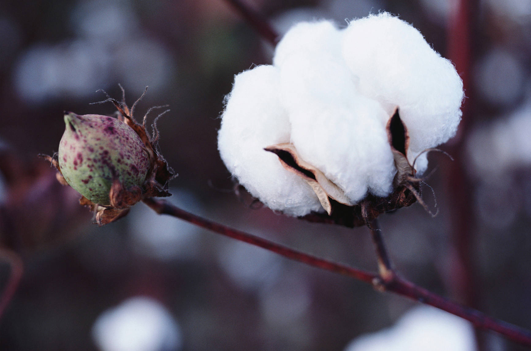 Pétalos de flor de algodón podían ayudar a tratar el Alzheimer