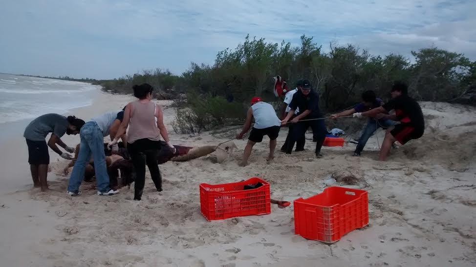Recala cachalote muerto en playa de Yucatán