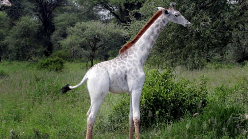 Omo, la jirafa blanca descubierta en Tanzania