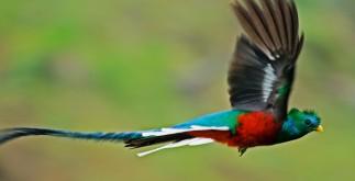 quetzal_volando