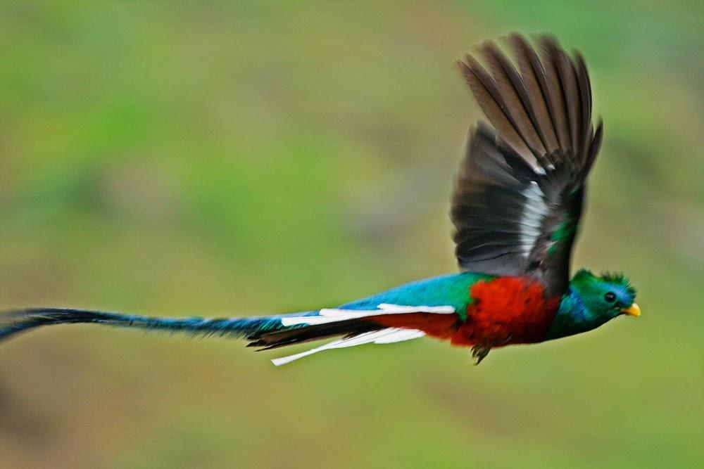 El Quetzal, sagrado entre los mayas, al borde de su extinción