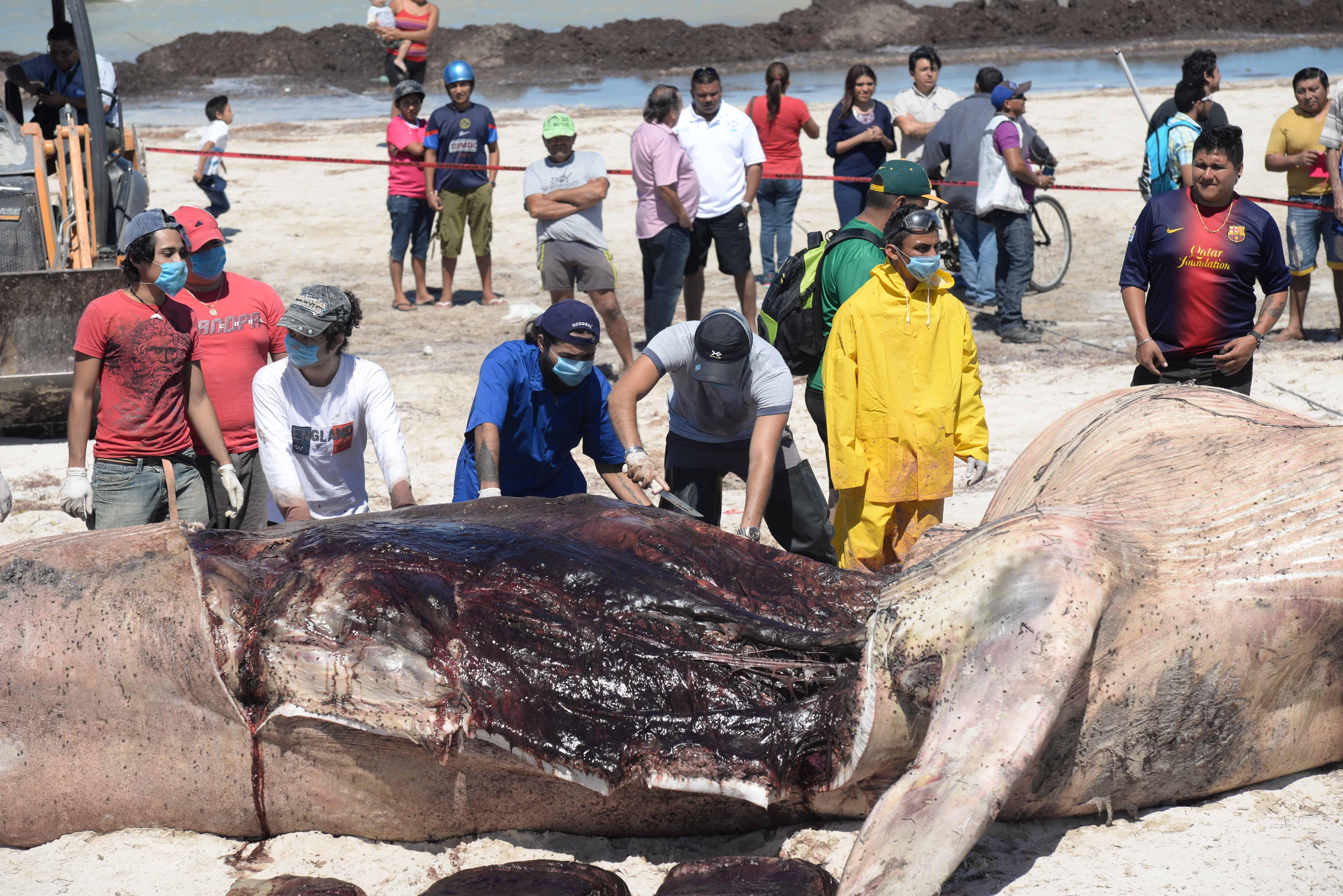 Mega necropsia: analizan causa de muerte de ballena