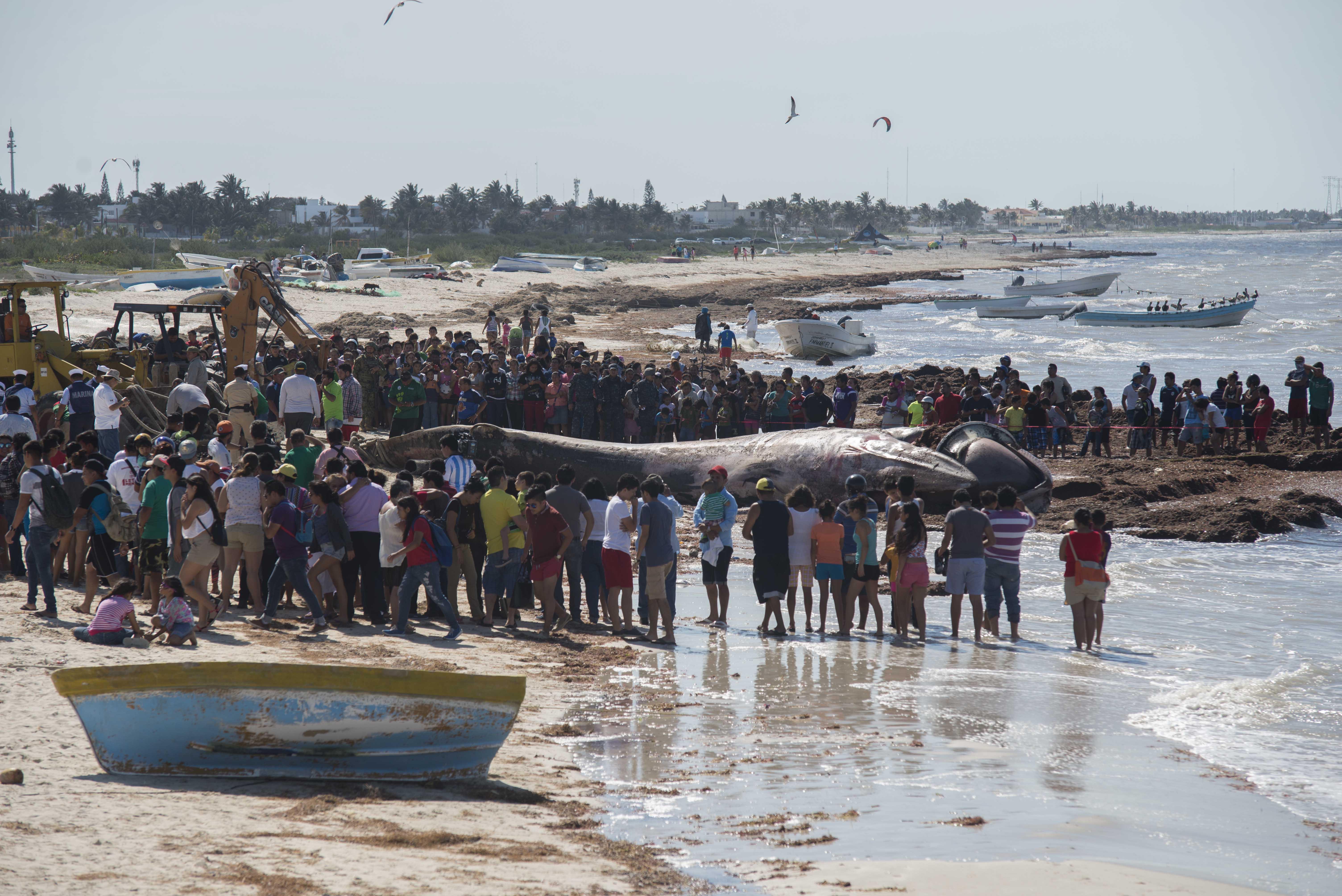 Vuelven espectáculo ballena muerta en playa yucateca