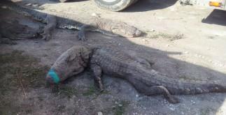 cocodrilos_muertos