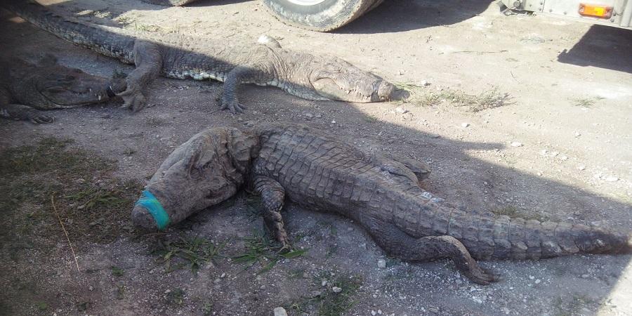 Mueren 124 cocodrilos por irregularidades en traslado a QRoo