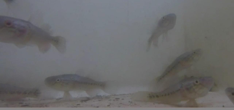 ¿Combatir el zika con peces?; estrategia en El Salvador