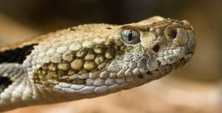 serpientes_venenosas
