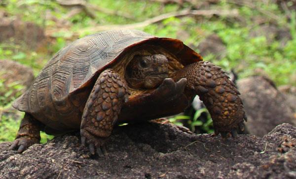 Descubren nueva especie de tortugas en desierto de Sonora y Sinaloa