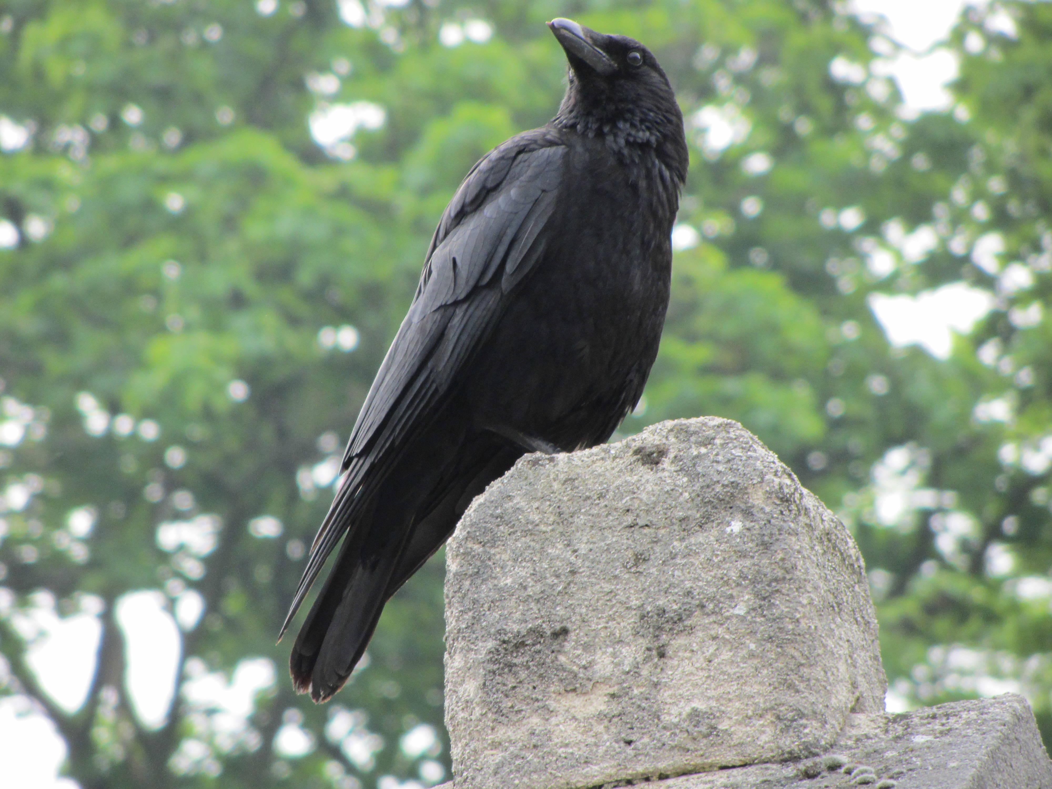 Cerebro de los cuervos se activa al identificar la muerte