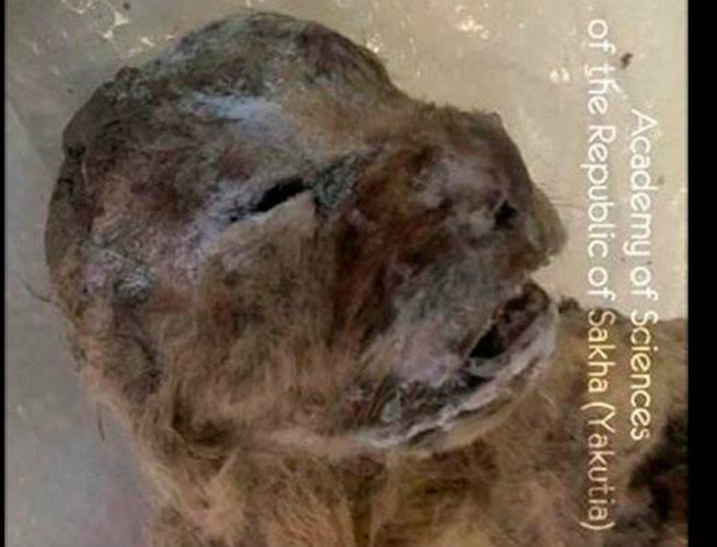 Planean clonar al león de las cavernas de Siberia