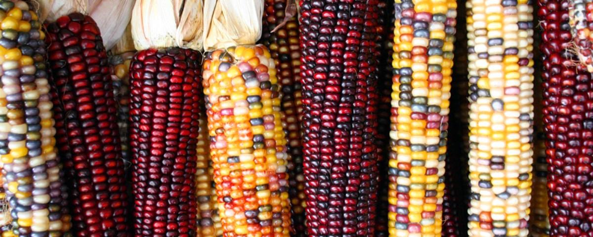Triunfo legal contra siembra de maíz transgénico