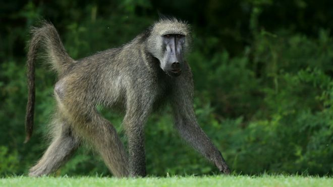 El mono que vivió durante 2 años con un corazón de cerdo