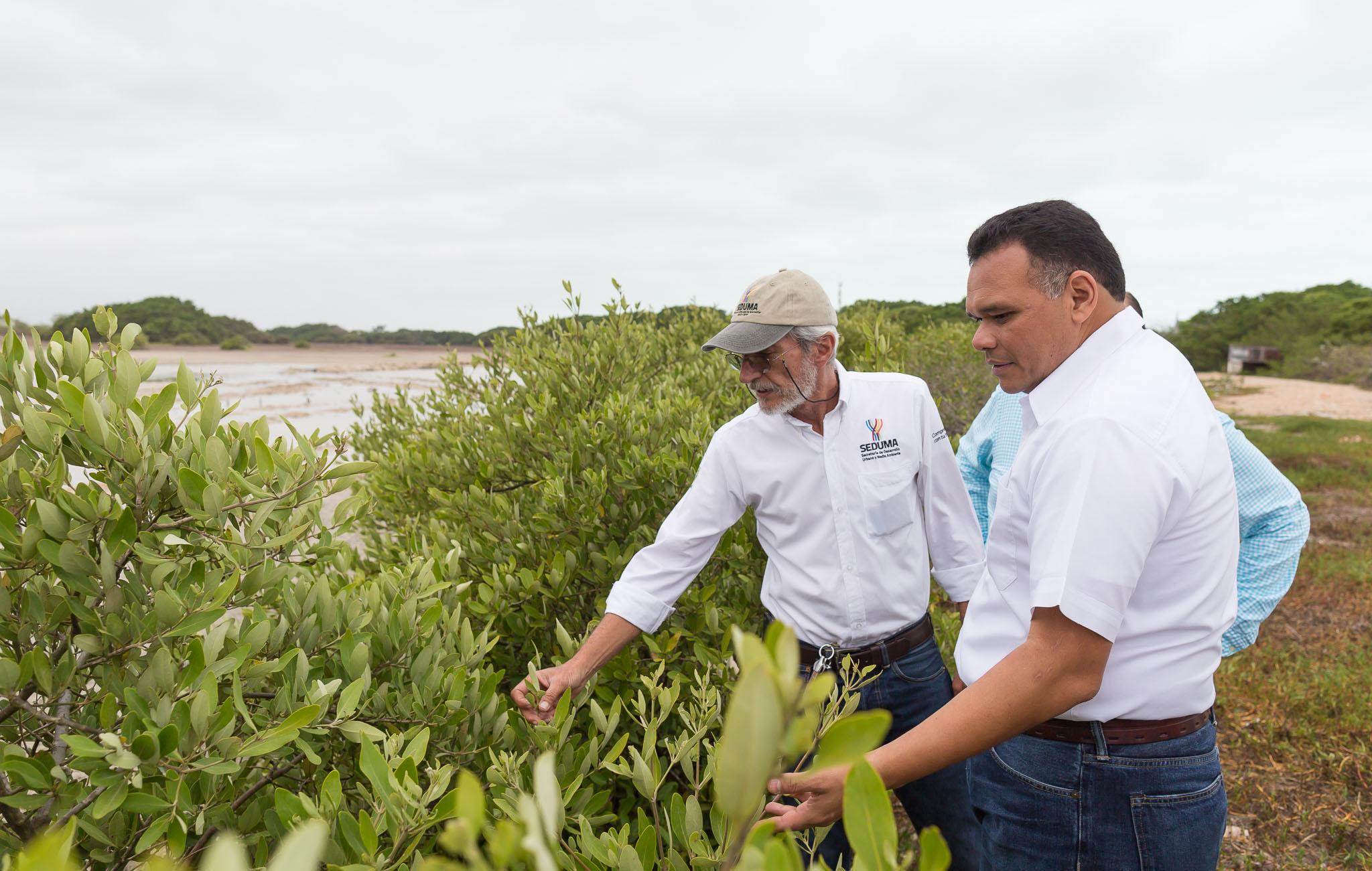 Avanza conservación de manglares en costa norte de Yucatán