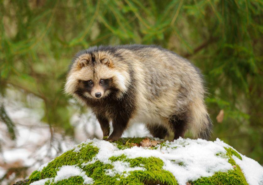 El tierno animal que Suecia quiere eliminar