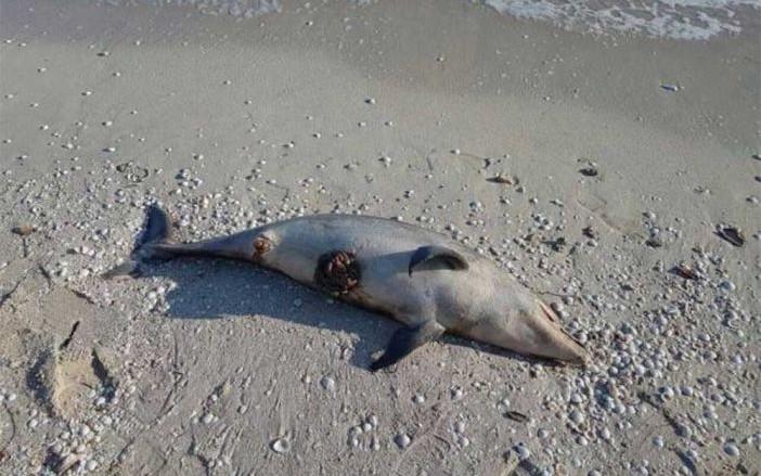 """""""Pesquería incidental"""", causa de varamiento de delfines"""