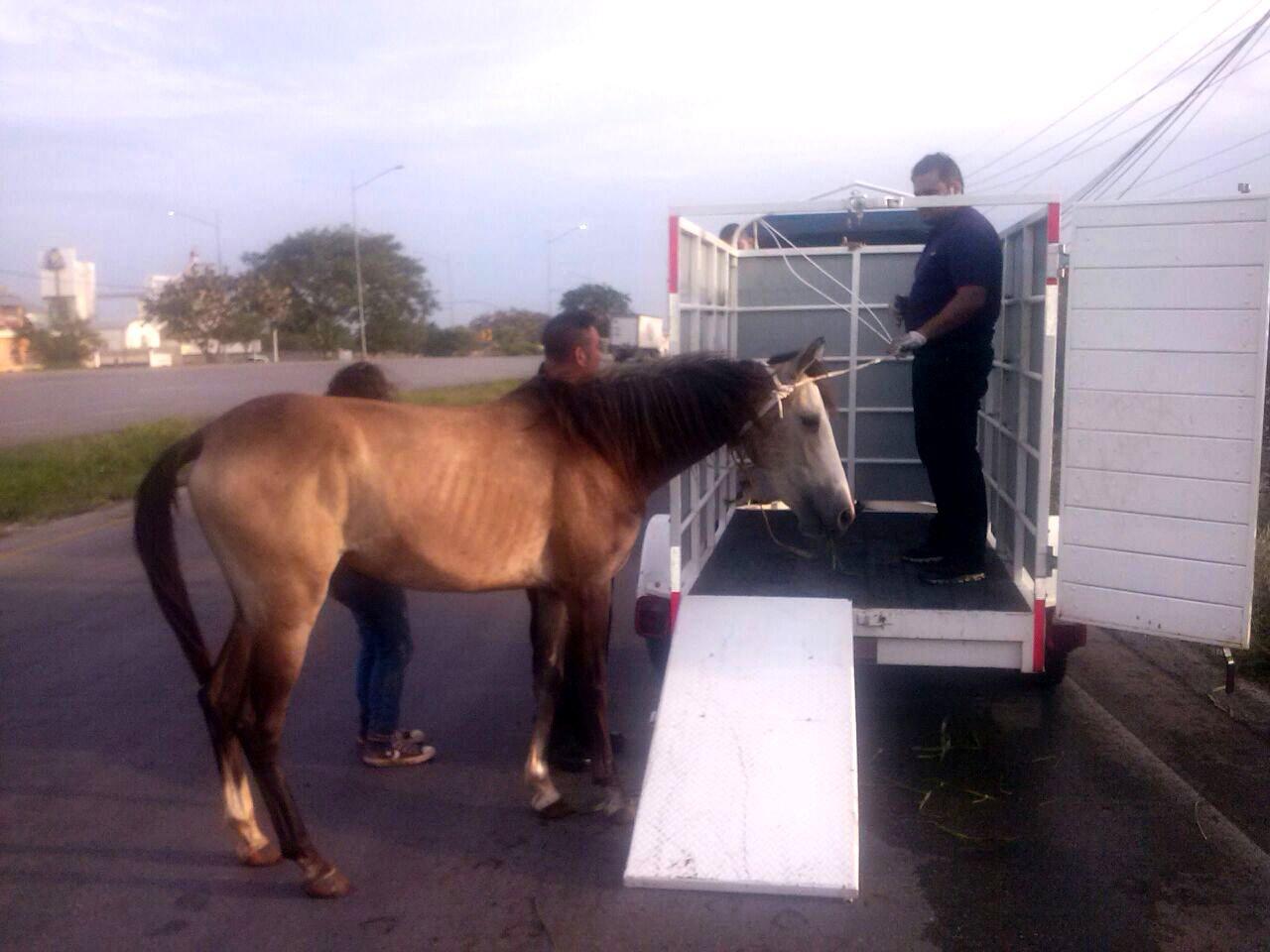 Rescatan a caballo sin dueño en periférico de Mérida