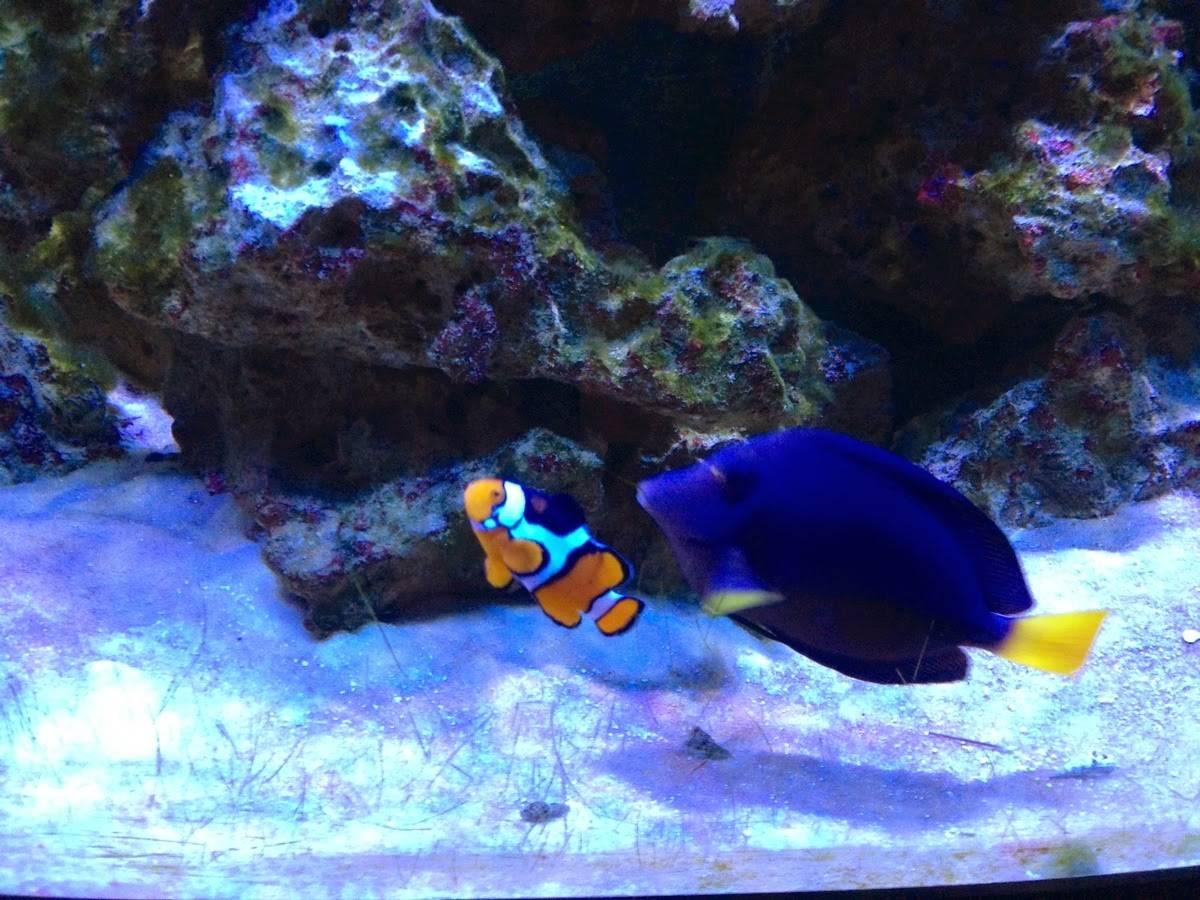 """""""Dory y Nemo"""" incrementan compra de peces de su especie"""
