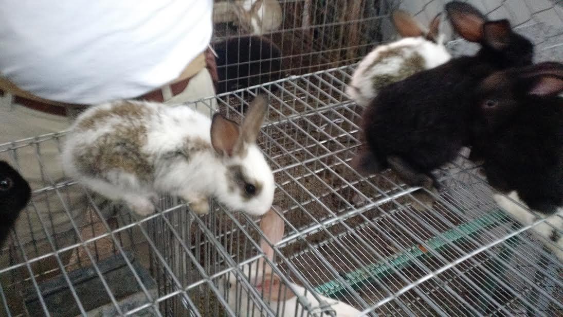 Conejo, opción de ingreso y alimentación