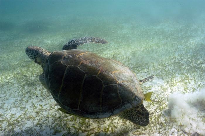 Santuario de Tortugas marinas, en Caribe Mexicano, a salvo