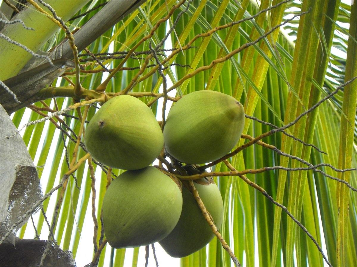 El coco, desaprovechado en Yucatán