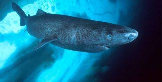 tiburon_groenlandia