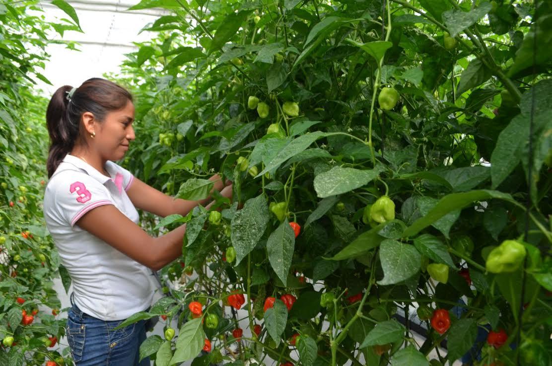 Obtienen científicos semillas de gran calidad de chile habanero