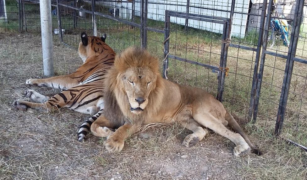 Retiran tigres y leones a circo en Mérida