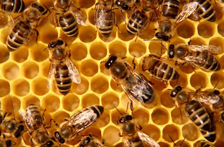 Molécula en alimentación impide a las abejas obreras ser reinas