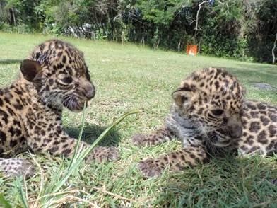 Rescatadas 2 crías de jaguar en Calakmul