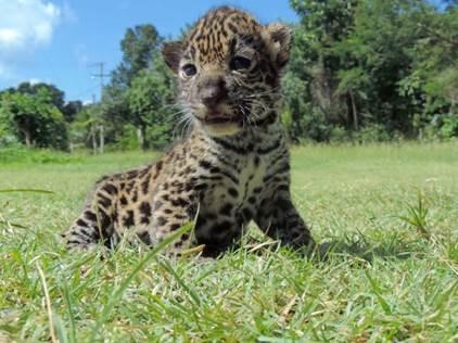 jaguares2