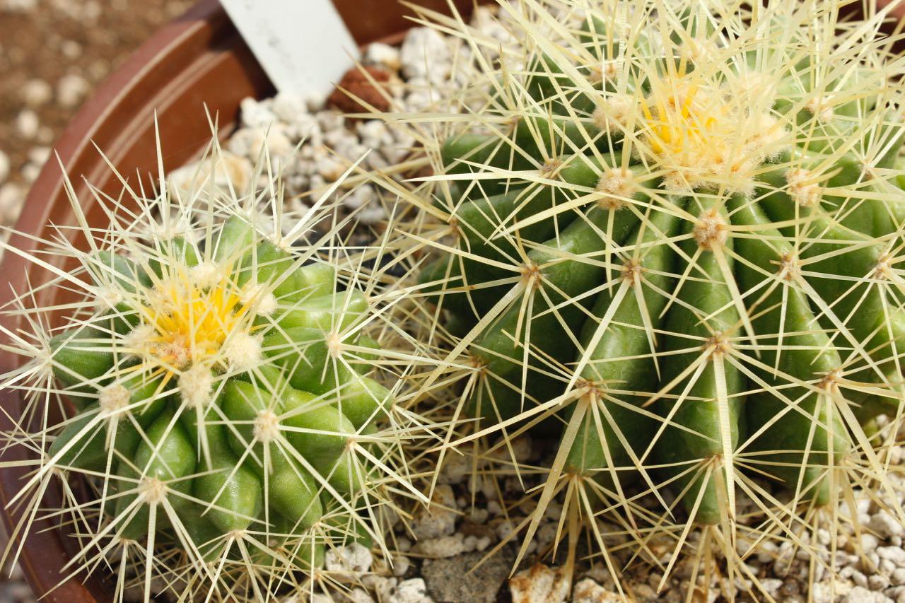 Exhiben cactus de grandes desiertos del planeta