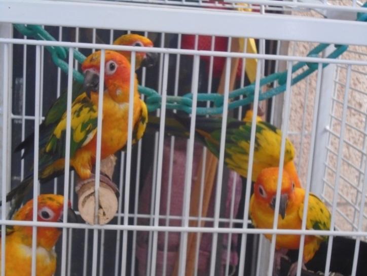 Desmantelan centro clandestino de aves exóticas en Mérida