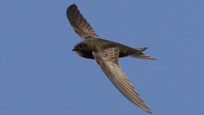 El pájaro que puede estar hasta 10 meses en el aire sin posarse