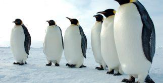 pinguinos_emperador