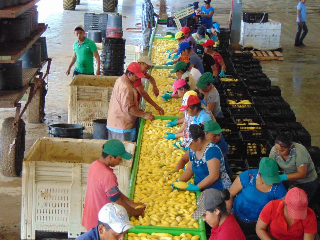 Escala producción agrícola de Yucatán en ranking nacional
