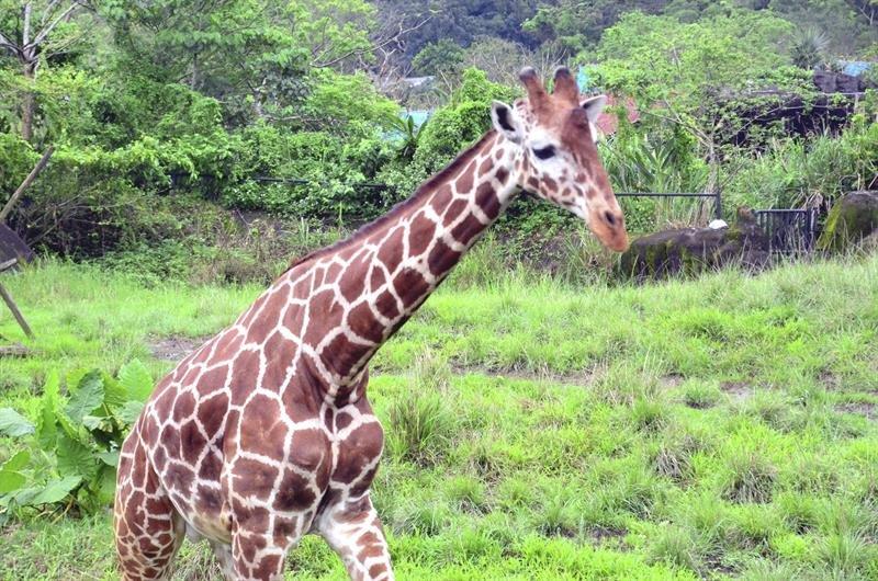 Entran las jirafas en lista de especies amenazadas