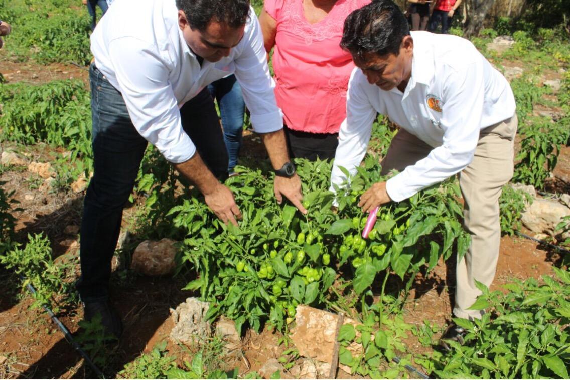 Promueven otras opciones para chile habanero yucateco