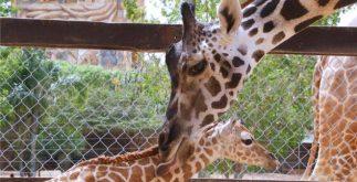 jirafa-nace-animaya