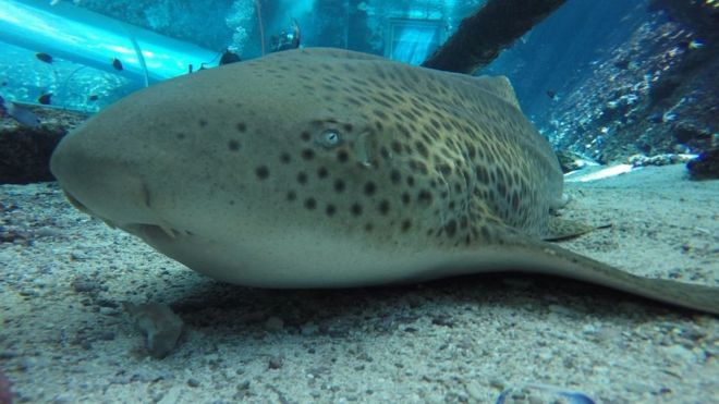 El tiburón hembra que logró reproducirse asexualmente