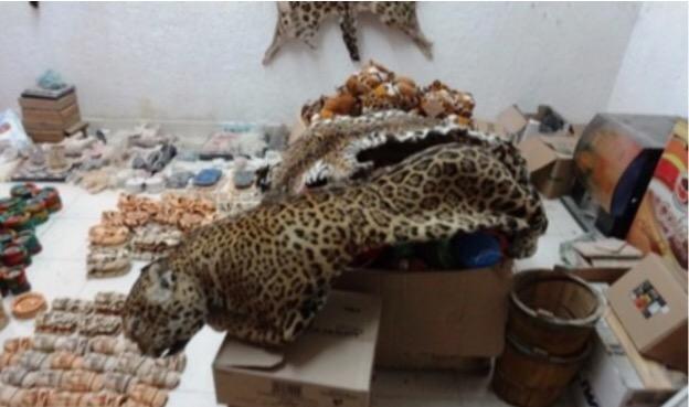 Aseguran pieles de jaguar y ocelote en Valladolid