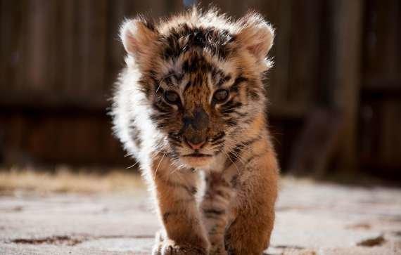 Nace un bebé ligre, cruza de león y tigresa