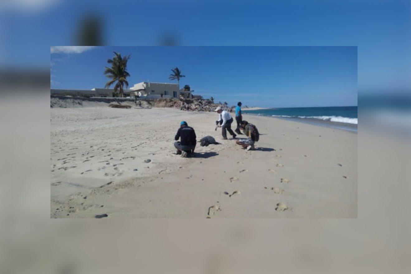 Marea roja provoca la muerte de 86 tortugas en BCS