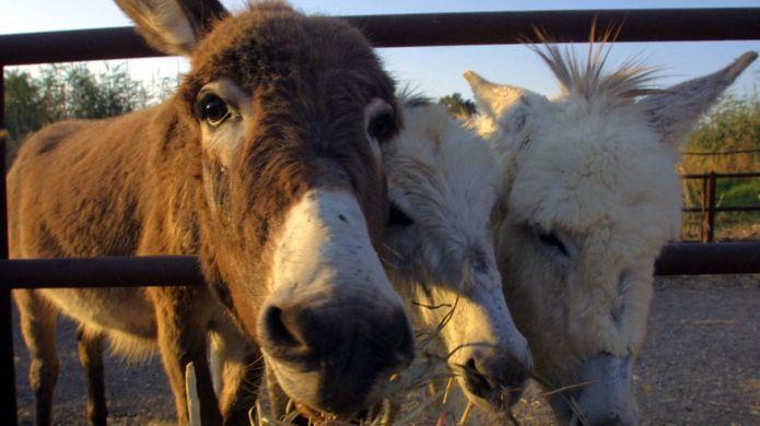 "Ejiao, exótica gelatina medicinal china que ""pone en peligro a burros"""