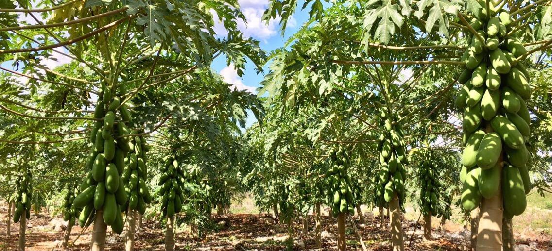 Productores de papaya miran a mercados de Asia y Europa