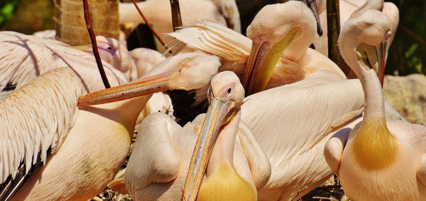 pelicans-1347336_1920