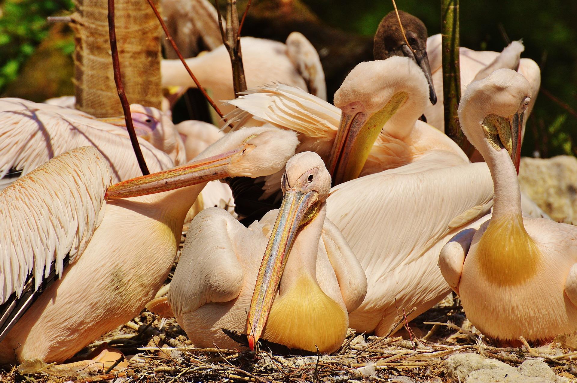 Zoo de Viena sacrifica pelícanos por brote de gripe aviar