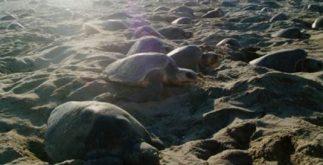 tortugas_golfina